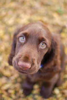 Lucy the Field Spaniel. A puppy face if you ever saw one.