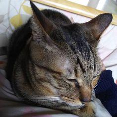 ママさんのお腹の上でまったりこん😌  #cat  #ねこ  #猫  #きじとら猫  #tabby  #tabbycat  #catlovers  #catlove  #catloversclub  #catloversworld  #catstagram  #catsofinstagram  #cats_of_instagram  #pet  #vitjunk  #highpaw  #boneandyarn  #picneko  #ねこ大好き  #ねこのいる暮らし  #ねこすたぐらむ  #にゃんすた  #保護猫チビ🐱  #愛猫  #癒し❤