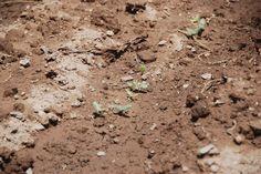 pepino germinado