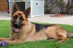 Your #dog will never learn if you are tensed while #training him. Both you and your dog need to be in an absolute relaxed state of mind before you begin any kind of training. This will help him learn faster.