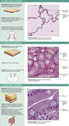 177 best Epithelial tissue images on Pinterest in 2018 | Anatomy and ...