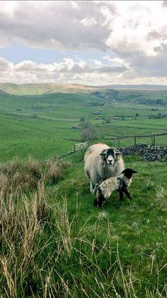 pagewoman: Swaledale Sheep and Lamb, Yorkshire Dales, England (by Hill Top Farmgirl) Sheep Farm, Sheep And Lamb, Beautiful World, Animals Beautiful, Yorkshire Dales, Yorkshire England, British Countryside, England And Scotland, Lake District