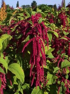 """Amaranth 'Love Lies Bleeding' makes a statement in the garden - and on the plate."" ""The seeds are used cooked or as a flour, just like quinoa, but have an earthier flavor.  In addition to the edible seeds, the leaves of Amaranth are also edible and used much like spinach.  The ""Hopi Red Dye"" cultivar is commonly used as a dye for textiles and food.  Many varieties are sold as ornamentals in garden catalogs, such as the plant ""Love-Lies-Bleeding"".  Most of these varieties are also edible."""