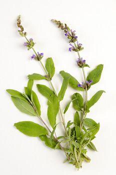 Resumo Sálvia: planta medicinal utilizada em uso interno como anti-transpirante e em uso externo como desinfetante (para a boca).  Sálvia (Salvia officinalis)