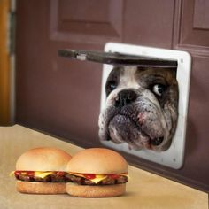 2. All English Bulldogs are notorious food stelears.