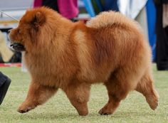 Articles of Interest | Kimekai Chow Chows -loved companians,successful show dogs