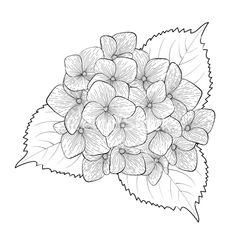 21 black and white flowers clipart vectors download free vector black and white flower hydrangea isolated vector 2642202 by jenya777levchen on vectorstock mightylinksfo