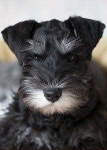 Miniature Schnauzers: LOVE EM! I have TWO. :).