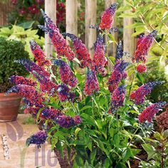 Liliac multicolor (Buddleja dav. Flower Power)