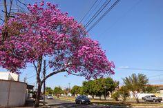 CACARECO'S: Ipês floridos que moram perto de mim - Parte 02/Final
