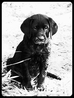 Black Lab Puppy  Cutest puppy ever #waycuterthanoaks