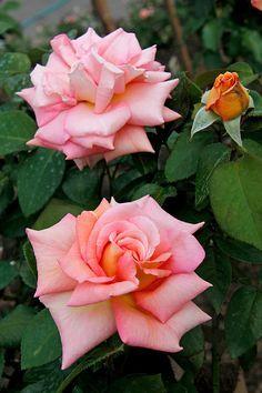 Hybrid Tea rose 'Scent-Sation', Garet Fyer (UK,1998)