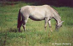 As Raças Portuguesas de Cavalos - O Soraia