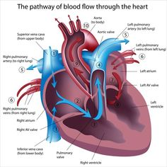 One the areas many students lack confidence in is learning cardiac disorders. Inside this article you will learn how to better understand this system. Nursing School Tips, Nursing Career, Nursing Tips, Nursing Notes, Nursing Schools, Nursing Courses, Cardio, Heart Anatomy, Nclex Rn