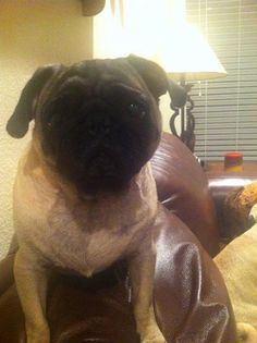 Pugterest Family, we need your help to find our friend's pug named Maddie, last seen in Little Creek Mesquite,Texas.                                           louis.h.kaufman@gmail.com or eeappleby@aol