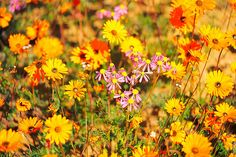 Namaqualand – South Africa's Daisy Sensation Western Coast, All Nature, Plant Species, South Africa, Daisy, Landscape, Plants, Ships, Live