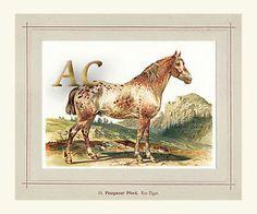 Hoffmann Pinzgauer Pferd