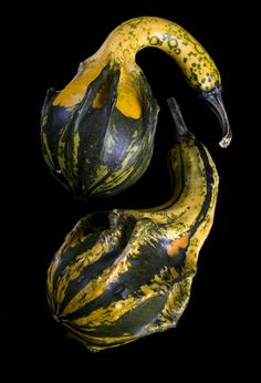 #Thanksgiving #Gourds #Holiday #Celebration
