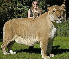 The liger is a hybrid cross between a male lion (Panthera Leo)-female, and looking like a giant lion with blurred stripes.