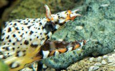 Shedd Aquarium - Chicago | Explore by Animal | Dragon Moray Eel