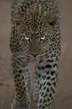 099428104d9 jaguar vs leopard vs cheetah animal print chart. people calling ...