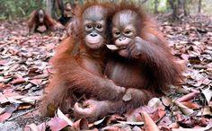 Viaggio nel paradiso dei piccoli oranghi salvati dalle fiamme - La Stampa
