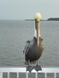 Pelican Pride / Cedar Key, FL. 2/1012 by J.S. Petralito