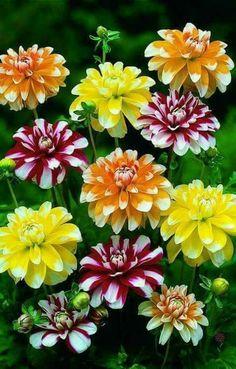 dahlia 'classic poème'® (dahlia à fleur simple) : vivaces