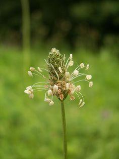 Inflorescència del plantatge (Plantago sp.)