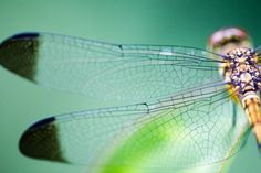 Researchers at French institutions designed flexible turbine blades inspired by insects like dragonflies that offer 35 percent more power. Dragonfly Wings, Wind Turbine, Flexibility, Nature, Dragonflies, Pictures, Animals, Inspiration, Image