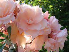OLEANDER HAUS  Nerium Oleander Gotsis Apollo Summer Plants, Nerium, Flowers Nature, Natural Beauty, Bloom, Exterior, Landscape, Apollo, Garden Ideas