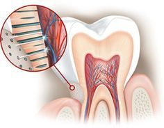 """""""Tooth Sensitivity"""" is Caused by the Exposure of Dentine Tooth sensitivity is caused by the gradual exposure of the softer part of your tooth that lies under the tooth enamel, called """"dentine"""". Dentine has tiny tubes ('tubules') that contain nerve endings and are filled with fluid. Eating or drinking foods and drinks that are hot, cold or sweet can cause this fluid to move."""