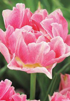 Peach Blossom tulip, 1890 oldhousegardens.com