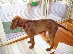 Irish Setter Pup ~ Classic Look ~ Windseeker Irish Setters
