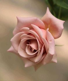 Find images and videos about aesthetic, flowers and rose on We Heart It - the app to get lost in what you love. Beautiful Rose Flowers, Love Rose, Flowers Nature, Amazing Flowers, Beautiful Flowers, Beautiful Pictures, Pink Roses, Pink Flowers, Black Roses