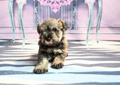 """Acquire great pointers on """"schnauzer puppies"""". They are actually readily available for you on our site. Mini Schnauzer Puppies, Miniature Schnauzer, Schnauzers, Puppy Breath, Pepper Color, Cute Puppy Videos, Snuggles, Cute Puppies, Portrait Photography"""