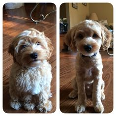 Cockapoo before and after grooming. How To Groom A Cavachon At Home
