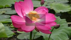 Indiai lotusz play Play
