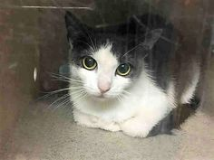 LEMON - A1119442 - - Brooklyn  *** TO BE DESTROYED 07/29/17 ***       ***SECOND CHANCE*** CURIOUS, SHY, ONLY ONE, NEEDS PATIENT PURRSON -  Click for info & Current Status: http://nyccats.urgentpodr.org/lemon-a1119442/