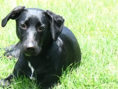 Beautiful Puppy! Echo is our Black Whippet/Labrador mix (hence Whipador).   She loves to run, jump,play fetch, and lick. She gets VERY excited to meet new people. But when