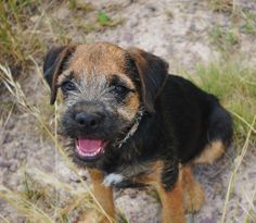 The obedient, amicable, busy, and inquisitive Border Terrier may be independent, and is not fond of hunting.