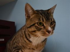 """OUTREACH: I am available for adoption at the Cascade Station PetSmart on 9721 NE Cascades Pkwy. in Portland. Come meet me during open adoption hours Thursdays & Fridays 4-6pm, Saturdays 12-4pm Sundays 12-2pm, or contact the OHS Outreach Coordinator at 503-802-6773 or outreach@oregonhumane.org to schedule an appointment outside of open adoption hours. <br> <br><h4><b>What my friends at OHS say about me:</h4></b><ul style=""""list-styl..."""