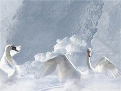 fantasy swan | swan cloud - sky, cloud, white, swan