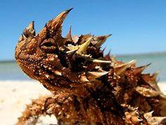 thorny devil beach