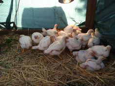 Consider learning to raise meat chickens on your journey to self-relaince. Here is an easy way to start!