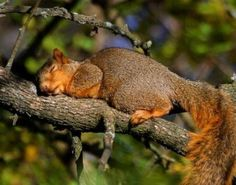 Sleeping Squirrel