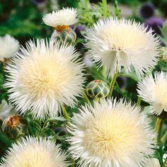 Amberboa moschata 'The Bride' - Annual Bedding Plants - Van Meuwen