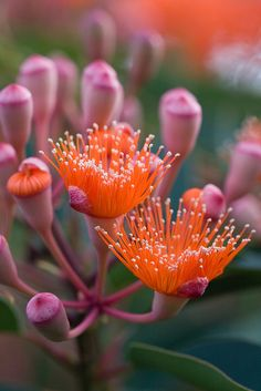 Eucalyptus flowers & buds - 'My Flowering Gum' by Linda Rayton (https://www.flickr.com/photos/30905971@N06/6529034221/)