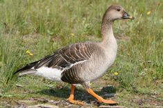 Taiga Bean Goose Anser fabalis - Google Search