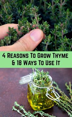 A small, evergreen shrub with light purple flowers and a pleasant flavor, thyme has been enjoyed since ancient times by the Egyptians and Greeks. The herb soon spread throughout Europe where it helped flavor food, Aromatic Herbs, Healing Herbs, Medicinal Plants, Organic Gardening, Gardening Tips, Gardening Books, Vegetable Gardening, Indoor Herb Gardening, Backyards